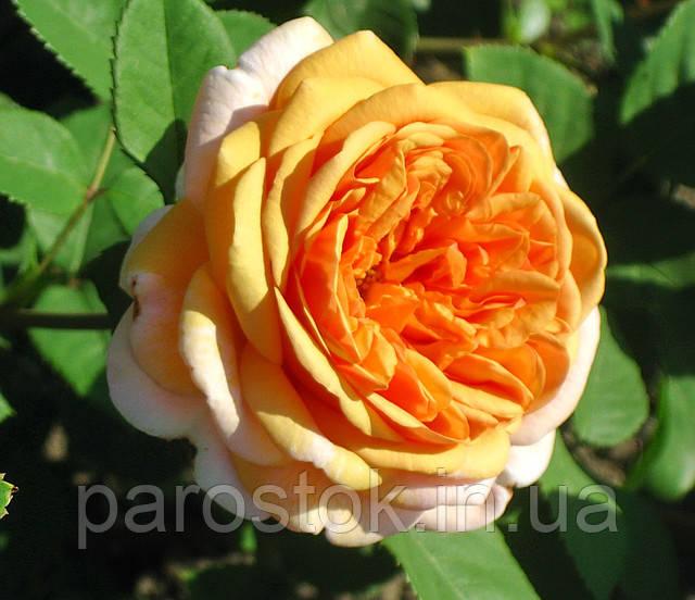 Саженцы роз Чарльз Остин. (с). Английская роза