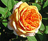 Роза Пэт Остин. Английская роза. (мс)