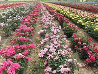 Саженцы садовых роз (Сербия) в ассортименти