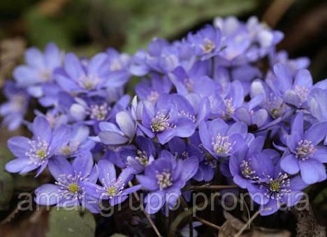 Весенние первоцветы для проблемных участков сада