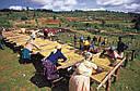 Арабика Кения