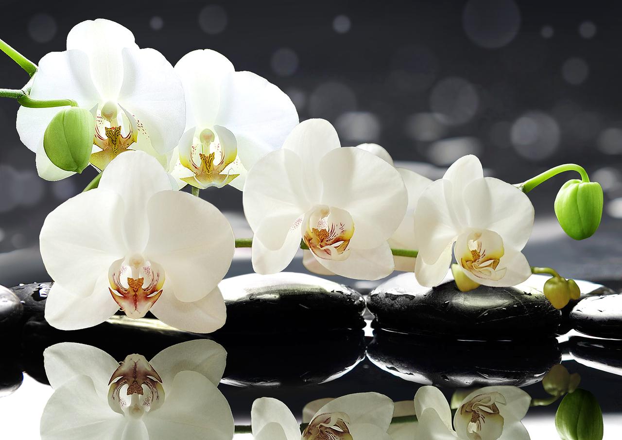 Цветы орхидея купить цена