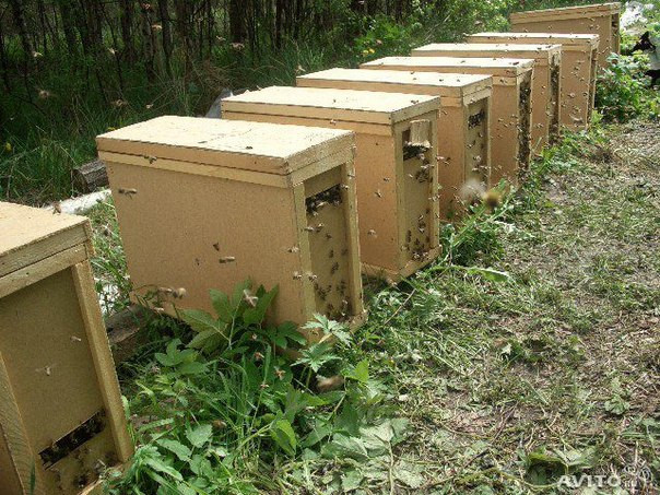 "Бджолопакети, порода бджіл "" Карпатка"