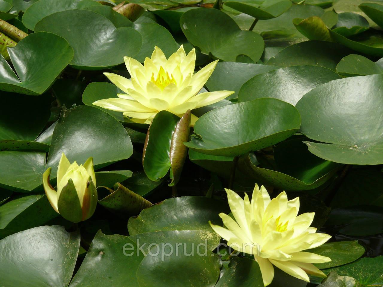 Нимфеи, кувшинки, лилии водяные (жёлтая)
