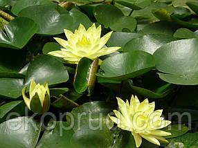Німфеї, латаття, водяні лілії (персикова), фото 2