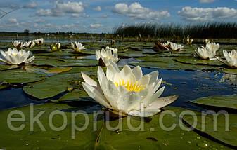 Нимфеи, кувшинки, лилии водяные (жёлтая), фото 3