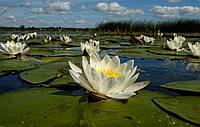 Нимфеи, кувшинки, лилии водяные (белая)