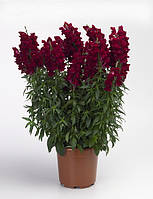 Antirrhinum majus, львиный зев - Liberty Classic™ F1, Сингента (Goldsmith Seeds) - 1000, 500, 250, 100 семян
