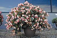 Begonia x Hybrida, бегония гибридная - Braveheart F1, Сингента - 1000, 500, 250, 100 семян