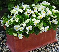 Begonia semperflorens, Бегония вечноцветущая- Bada Bing F1, Сингента - 1000, 500, 250, 100 семян