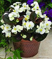 Begonia semperflorens, Бегония вечноцветущая- Bada  Boom F1, Сингента - 1000, 500, 250, 100 семян