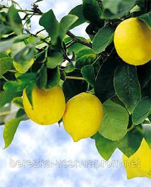 Уход за комнатным лимоном