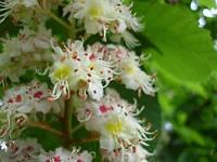Цветы и плоды каштана