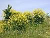 Сидеральные и медоносные травы, семена
