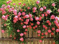 Выращивание роз на даче (садовом участке)