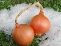 Семена лука репчатого Экстра Эрли Голд F1, United Genetics (Италия), упаковка 100 000 семян