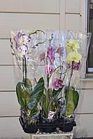 Орхидея фаленопсис оптом и в розницу 1 ветка. Горшок 12 высота 70 см