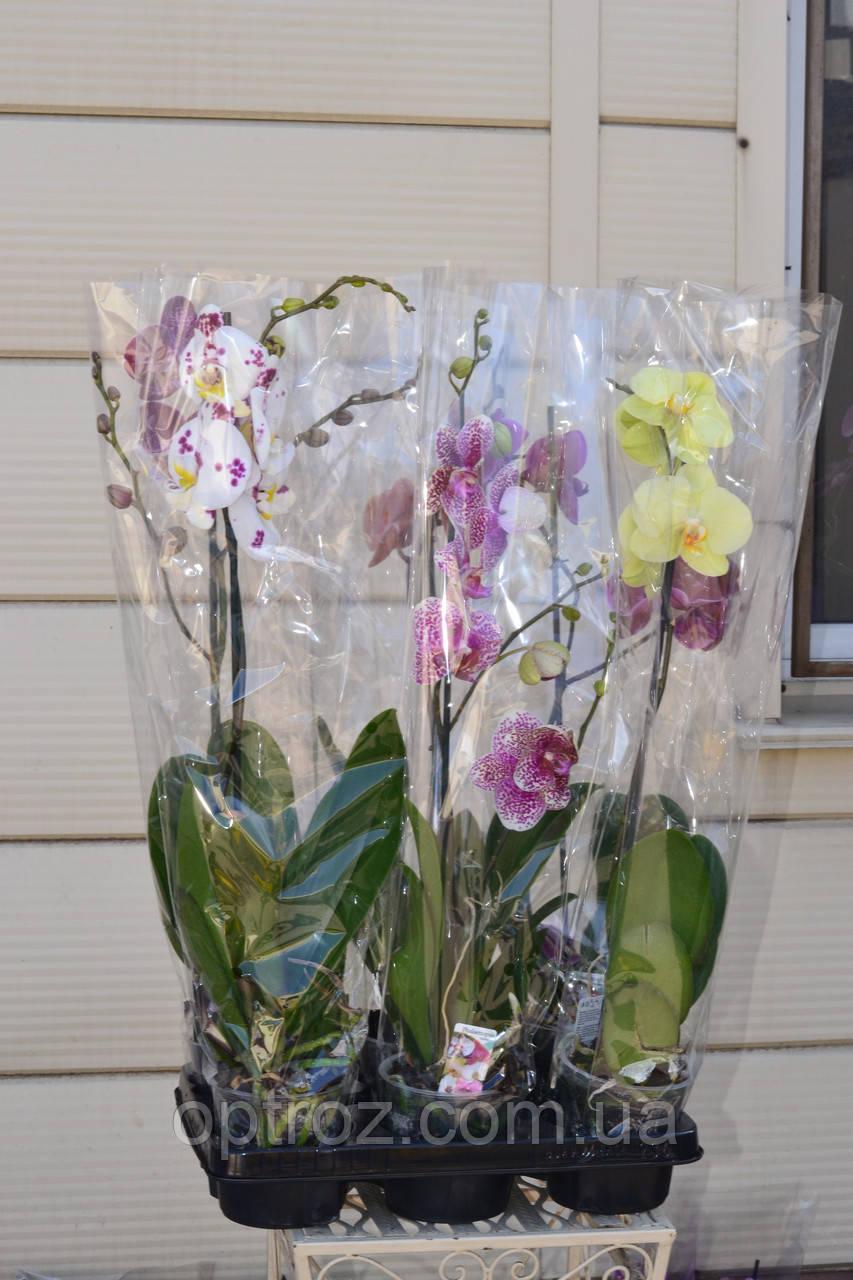 efc489e0e Орхидея фаленопсис оптом и в розницу 1 ветка. Горшок 12 высота 70 см -  OPTROZ