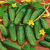 Семена огурца Аванс (Авенсис) F1, NongWoo Bio (Корея), упаковка 1000 семян