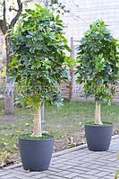 Искусственное растение Шеффлера