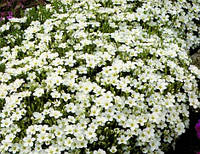 Arenaria montana, песчанка горная - Blizzard, Blizzard Compact, Сингента - 1000, 500, 250, 100 семян