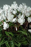Cyclamen hederefolium, цикламен плющелистный - AmazeMe™, Сингента - 1000, 500, 250, 100 семян