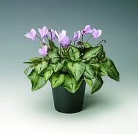 Cyclamen hederefolium, цикламен плющелистный - SilverMe™, Сингента - 1000, 500, 250, 100 семян