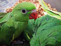 Ожереловый попугай выкормыши