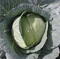 КОРИНО F1 - семена капусты белокочанной, 2 500 семян, SEMO
