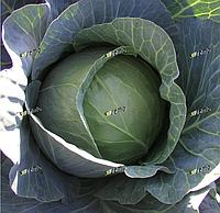 ПАВЛО F1 - семена капусты белокочанной, 2 500 семян, SEMO