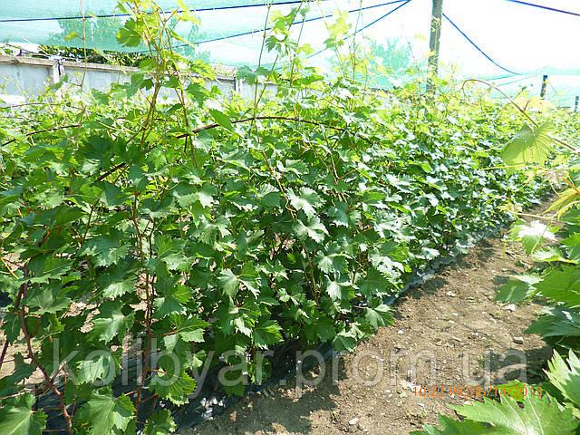 Саженцы  винограда.