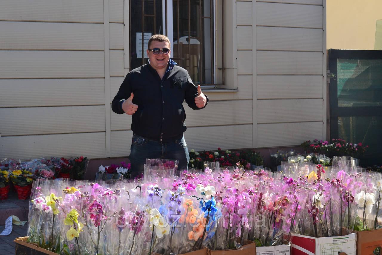 f48f45542 Фаленопсис купить Одесса: продажа, цена в Одессе. растения горшечные ...
