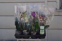Орхидея мини. Горшок 9 высота 35