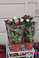 Роза в горшке. Горшок 12 см высота 35 см