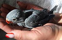 Ожереловый попугай выкормыш, фото 1