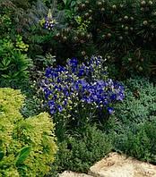 Delphinium grandiflorum, Дельфиниум крупноцветковый - Delfix®, Сингента - 1000, 500, 250, 100 семян