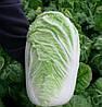 КОНКОРД F1 - насіння капусти пекінської, 2 500 насіння, SEMO