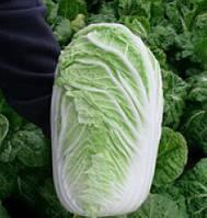 КОНКОРД F1 - насіння капусти пекінської, 2 500 насіння, SEMO, фото 1