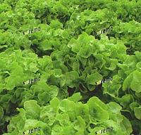 ДУБАГОЛД - семена салата тип Дуболистный, 5 грамм, SEMO