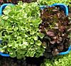 ДУБАРЕД - семена салата тип Дуболистный, 5 грамм, SEMO