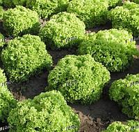 ЗЛАТАВА - семена салата тип Лолло Бионда дражированные, 1 000 семян, SEMO, фото 1