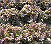 РОДЕН - семена салата тип Батавия, 5 грамм, SEMO