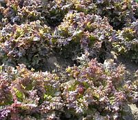РОДЕН - семена салата тип Батавия, 5 грамм, SEMO, фото 1