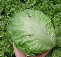 МАКСИМО - семена салата тип Айсберг, 1 000 семян, SEMO, фото 1