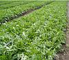 РОКЕТА - семена рукколы, 50 грамм, SEMO