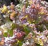 ДАРК РОДЕН - семена салата тип Батавия, 5 грам семян, SEMO