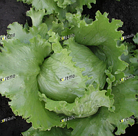 МЕДИМО - семена салата тип Айсберг, 1 000 семян, SEMO, фото 1