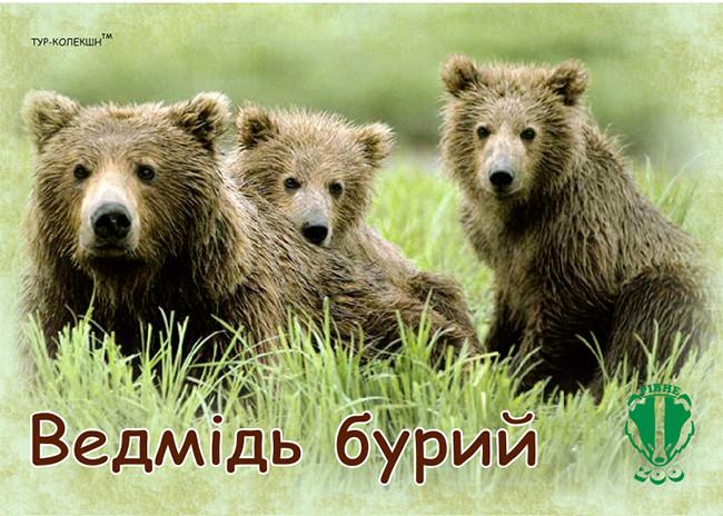 """Магніт вініловий """"Ведмідь Бурий. Рівненський зоопарк"""" 50х70 мм"""