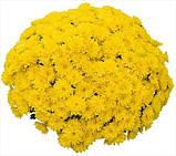 Хризантема мультифлора Аміко (Amiko Yellow) РАНЯЯ з серпня, фото 2