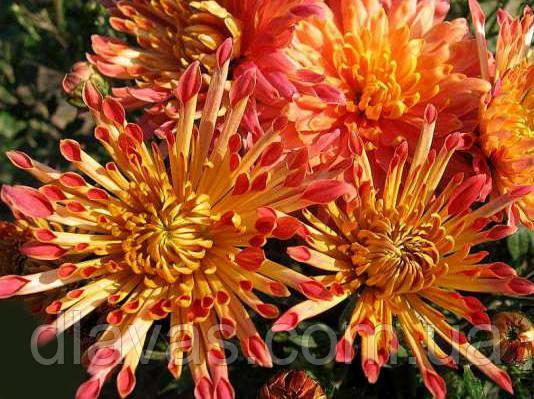 Корейская хризантема Гранатовый браслет (маточник)